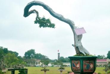 Ngắm những cây cảnh nghệ thuật độc, lạ ở Hoàng Thành Thăng Long