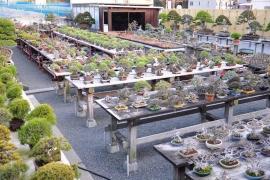 Vườn Bonsai đẹp nhất Nhật Bản