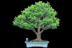 Ổi Bonsai