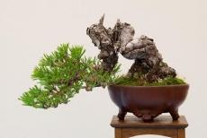Giống thông Đen Nhật Bản (Japan black pine)