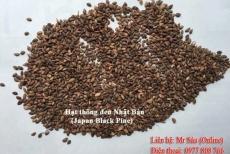Hạt giống thông đen Nhật Bản (Japan black pine)