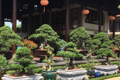 Gia chủ tuổi Thân nên trồng cây Tùng bồng lai