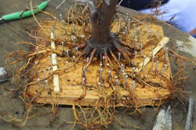 Cách sắp xếp bộ rễ Bonsai