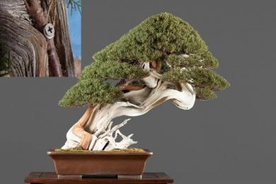 Tại sao cây tùng bồng lai được coi là cây cho người tuổi Thân?