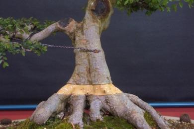 Tạo lại bộ đế cho cây Bonsai qua hình ảnh
