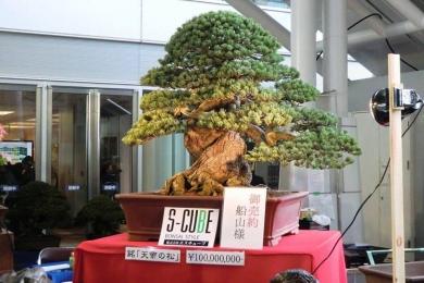 Cây thông Bonsai trên 20 Tỷ của Nhật Bản 0977808766