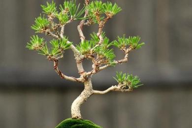 Cách uốn kẽm chi tiết cho cây thông đen Nhật Bản