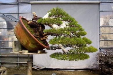Kinh nghiệm trồng thông đen Nhật Bản