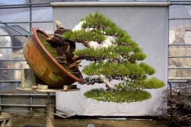 Tạo dáng cây thông đen qua hình ảnh